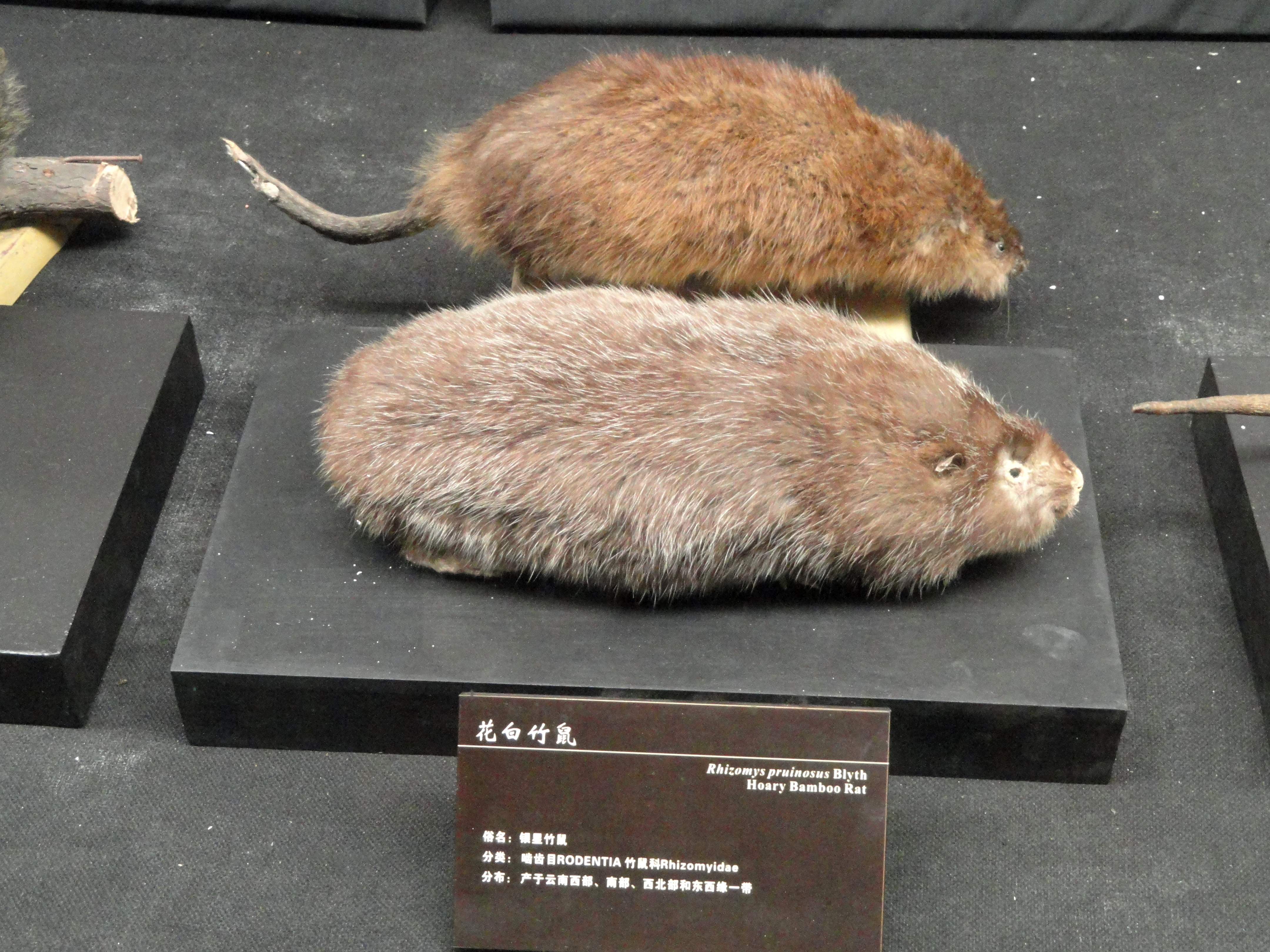 Image of Hoary Bamboo Rat