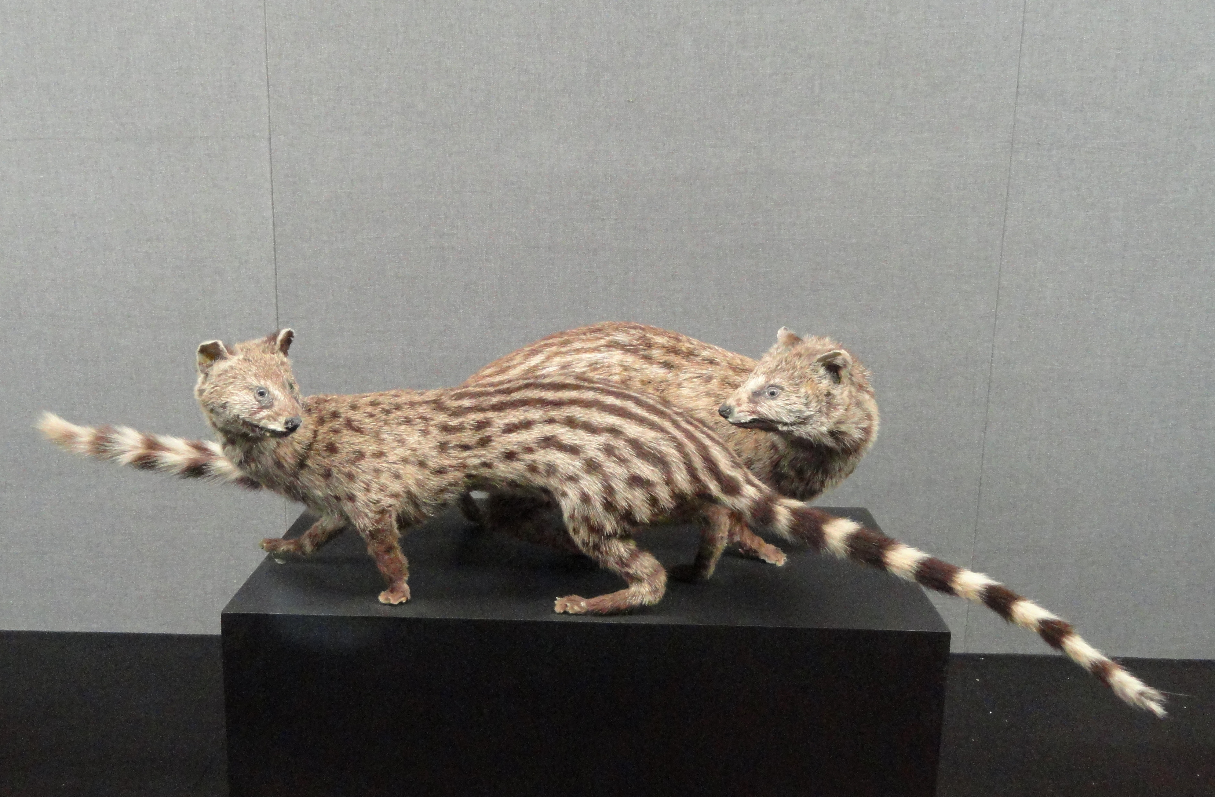 Image of Small Indian civet