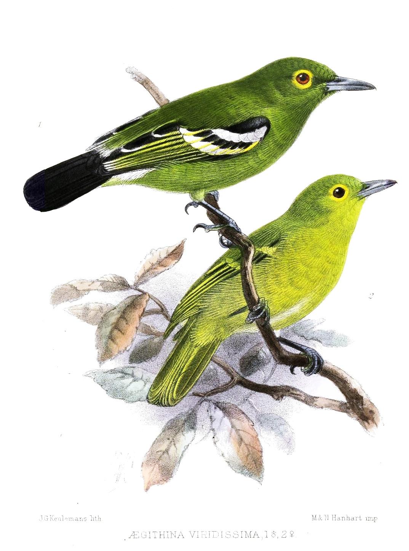 Image of Green Iora