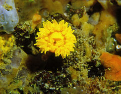 Image of Sunset cup coral