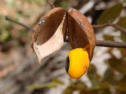 Image of Langsdorf's copaifera