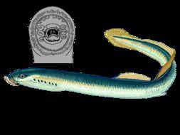 Image of river lamprey, lampern