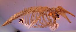 Image of Beluga whale