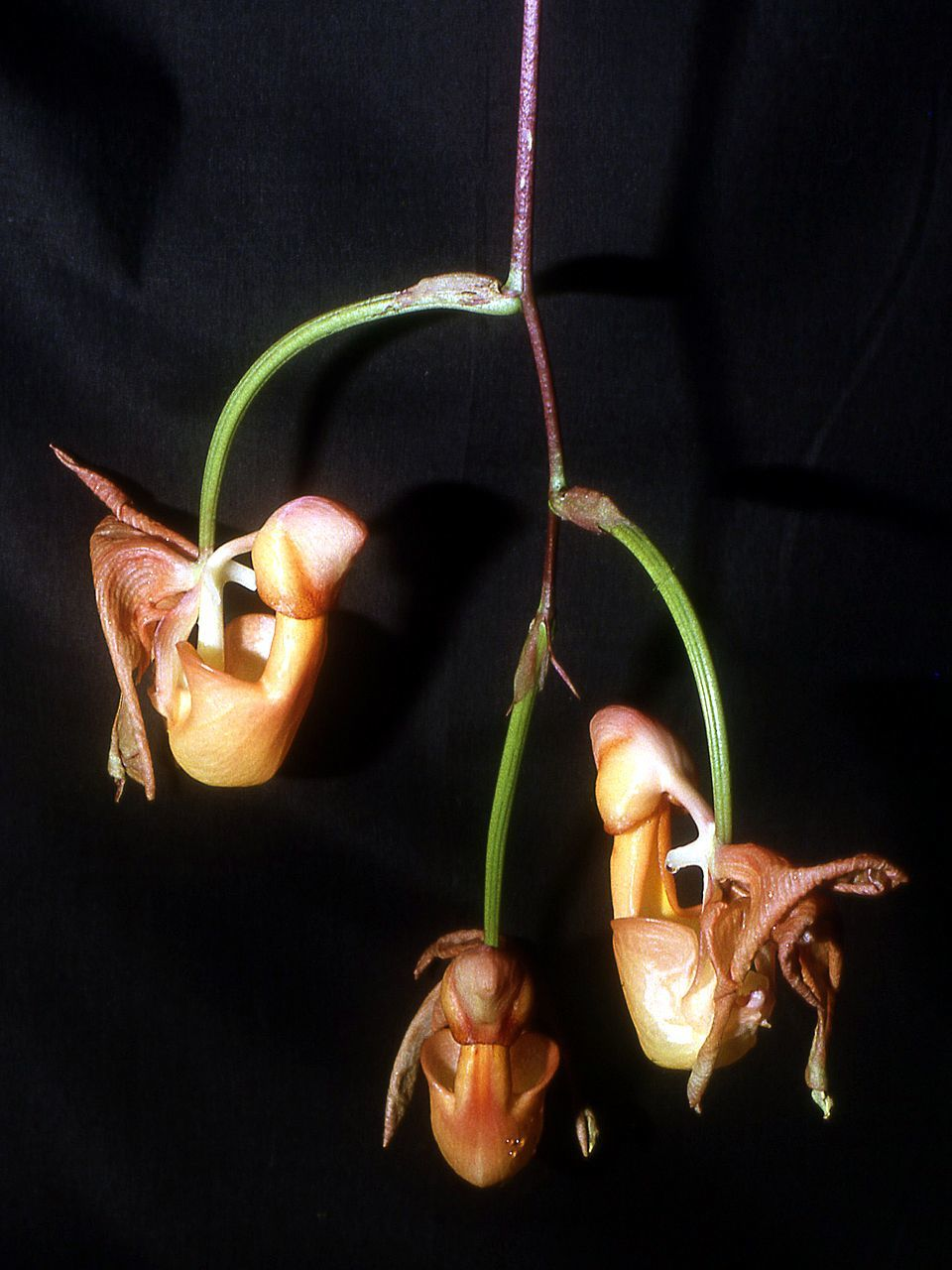 Image of <i>Coryanthes mastersiana</i> F. Lehm.