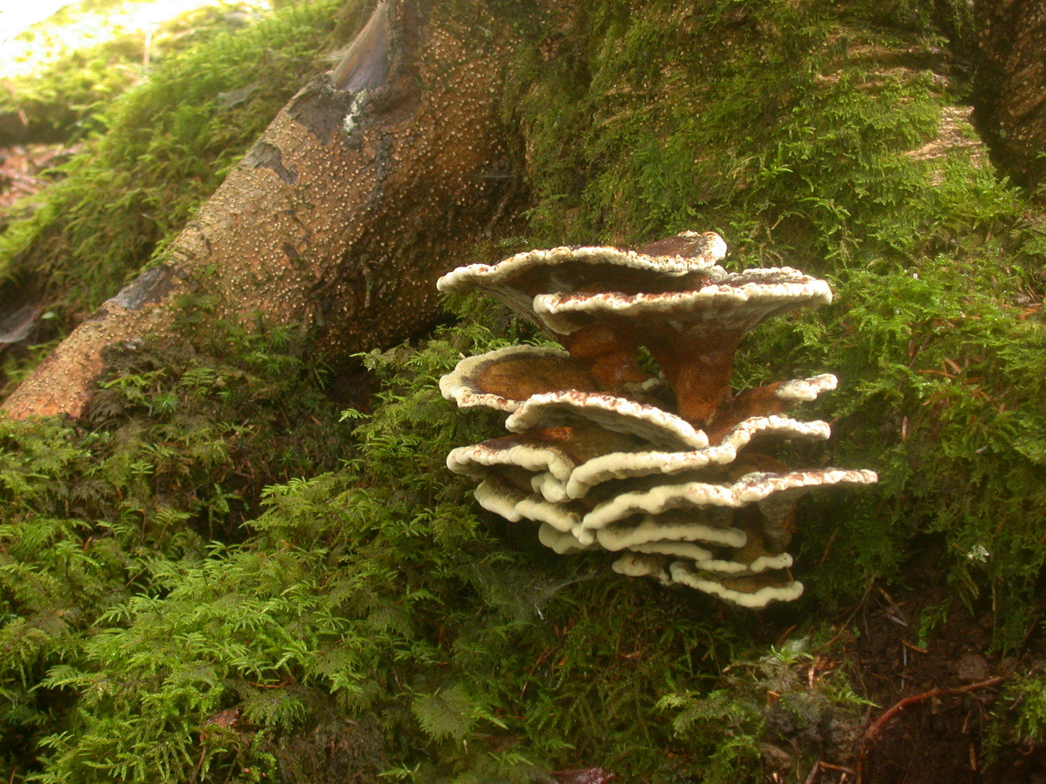Image of dyer's polypore