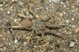 Image of baldlegged spiders