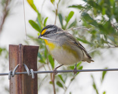 Image of Striated Pardalote