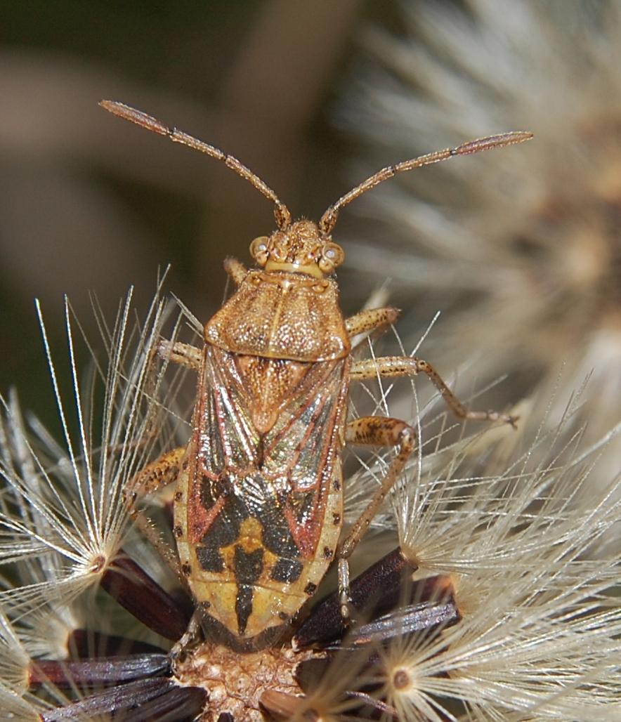 Image of Stictopleurus