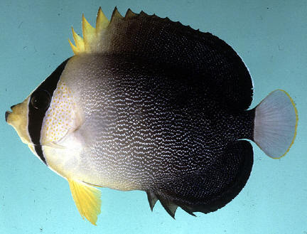 Image of Red Sea Butterflyfish