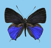 Image of <i>Sinthusa mindanensis</i> Hayashi, Schroder & Treadaway 1978
