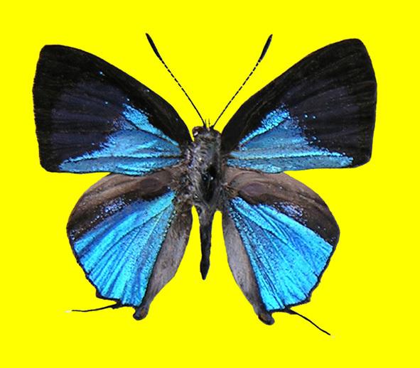 Image of <i>Sinthusa natsumiae</i> Hayashi 1979