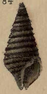 Image of <i>Turridrupa bijubata</i> (Reeve 1843)
