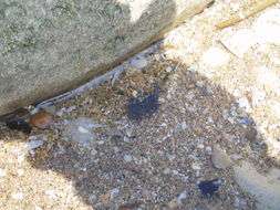 Image of seashore springtail