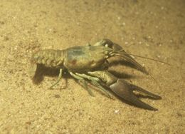 Image of Benton County Cave Crayfish