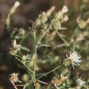 Image of diffuse knapweed