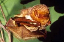 Image of eastern red bat