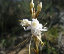 Image of <i>Satyrium membranaceum</i> Sw.