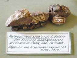 Image of Sivapithecus Pilgrim 1910
