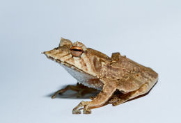 Image of Banded Horned Treefrog