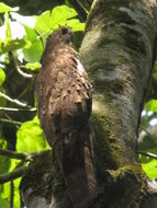 Image of Long-tailed Potoo