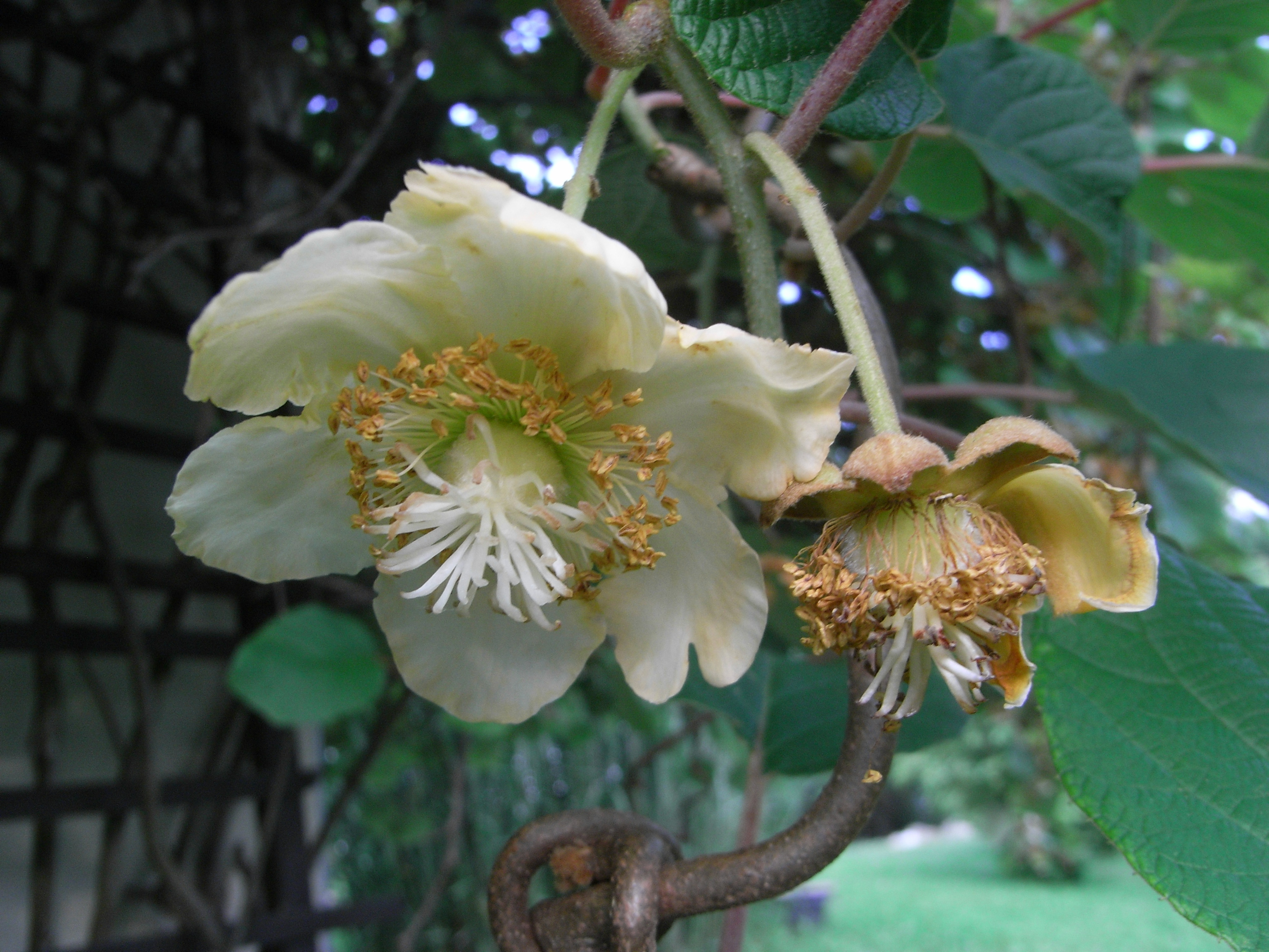 Image of kiwifruit