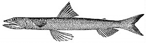 Image of Inshore Lizardfish
