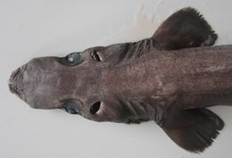 Image of Arrowhead Dogfish