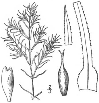 Image of <i>Najas flexilis</i> (Willd.) Rostk. & W. L. E. Schmidt