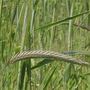 Image of rye
