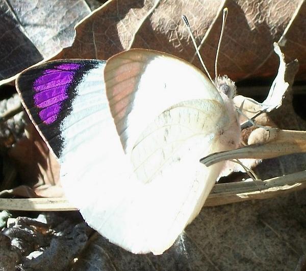 Image of <i>Colotis erone</i> (Angas 1849)