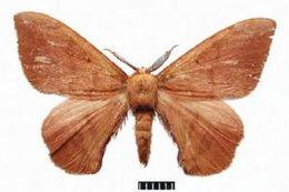 Image of <i>Andraca apodecta</i> Swinhoe 1907