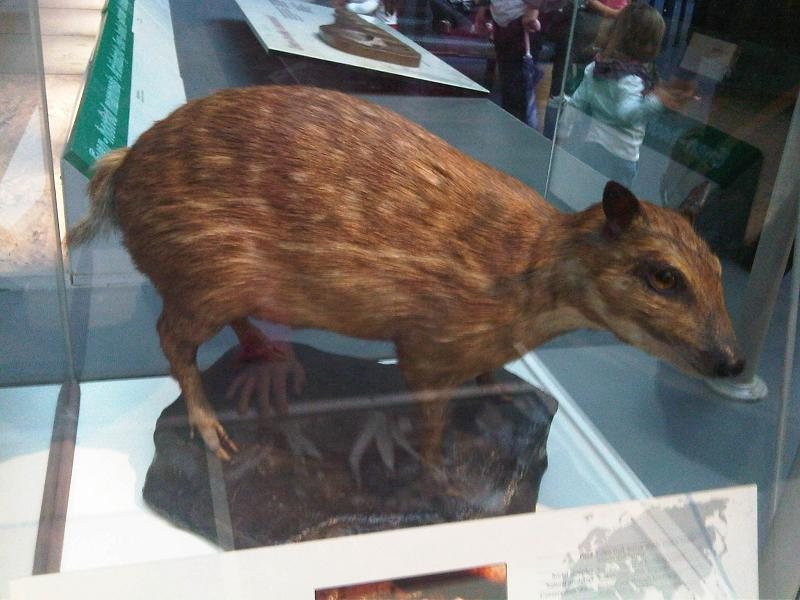 Image of Water Chevrotain