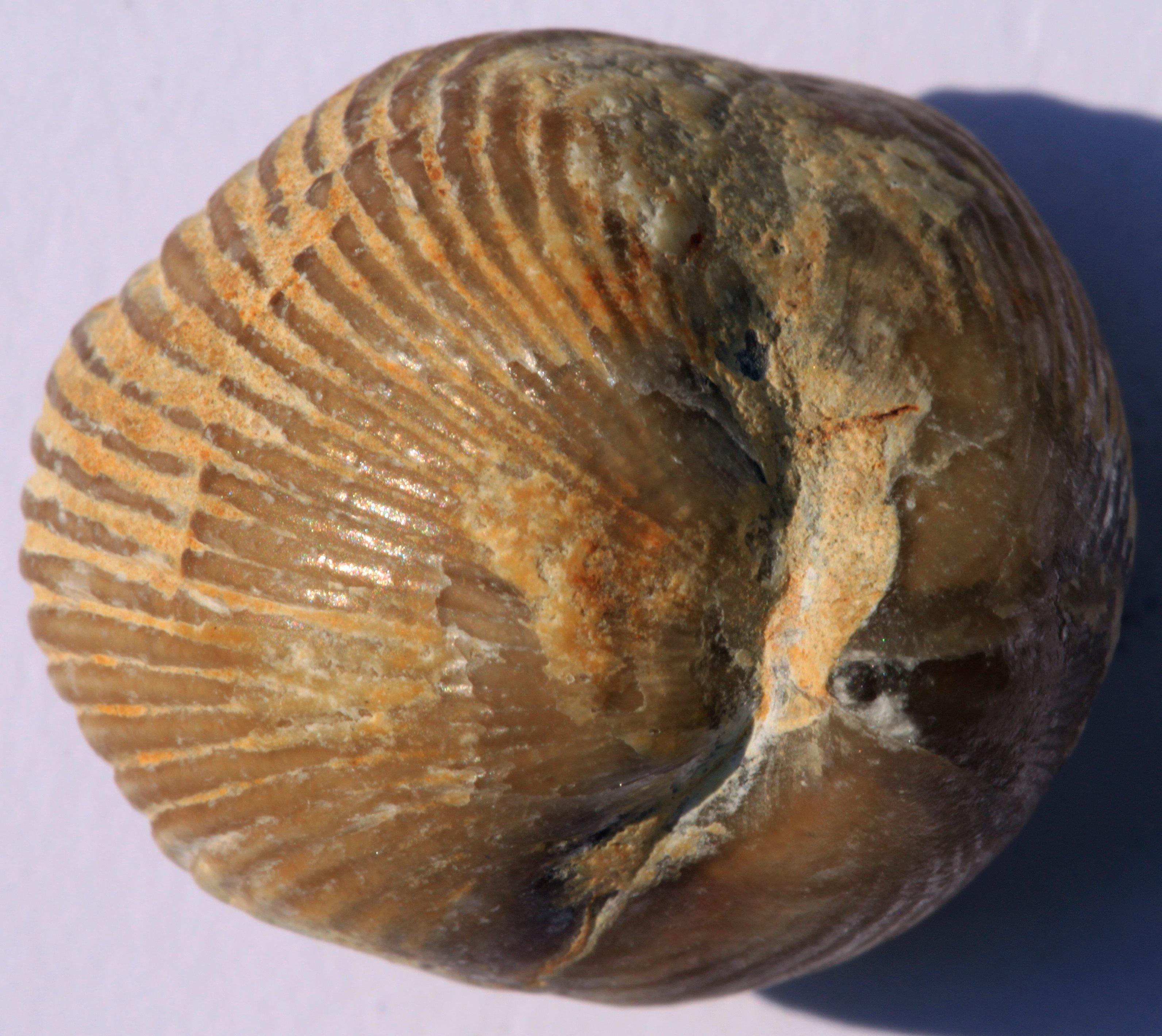 Image of Somalirhynchia