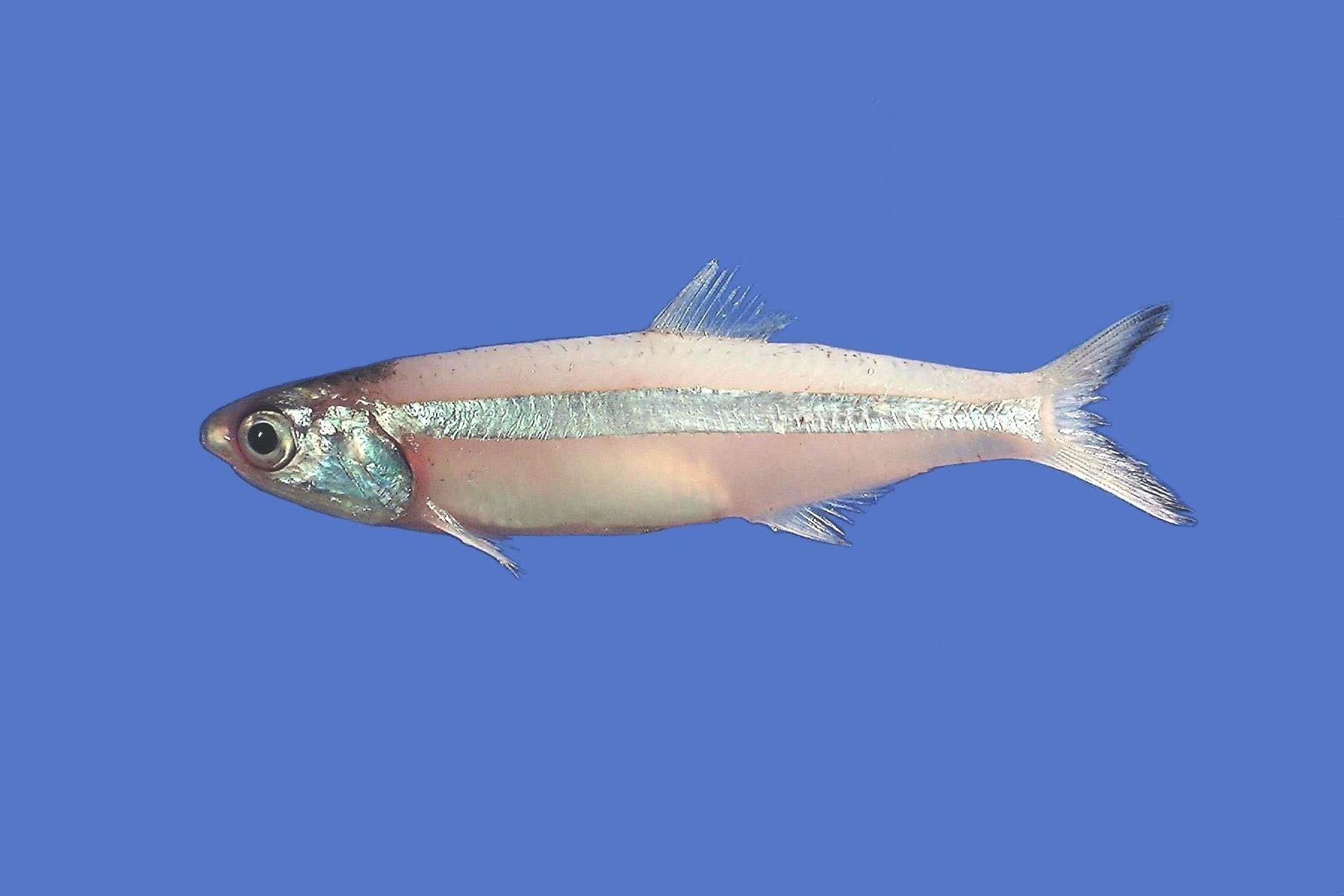 Image of Broad-striped Anchovy