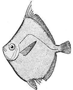 Image of Boarfish