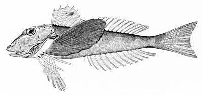 Image of Northern Searobin