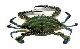 Image of Gazami crab