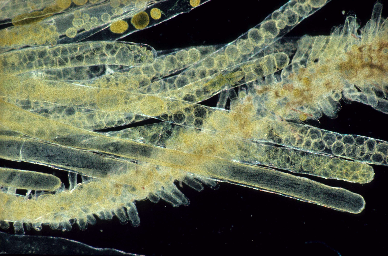 Image of Siphonocladus