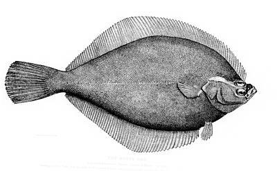 Image of Yellowtail flounder