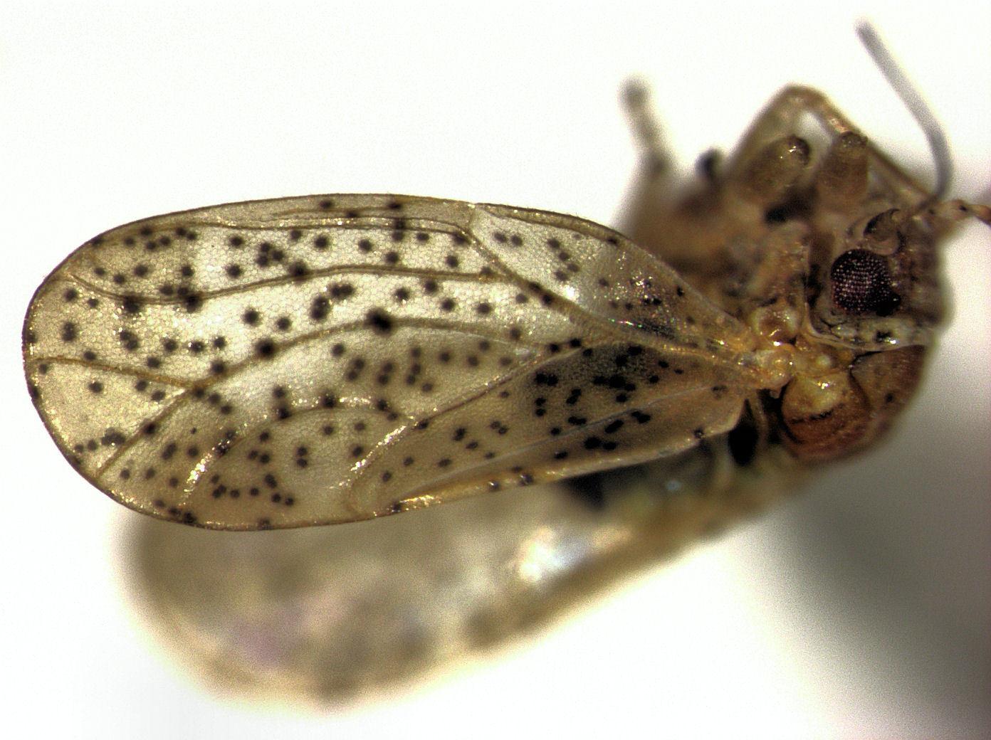 Image of Psylla