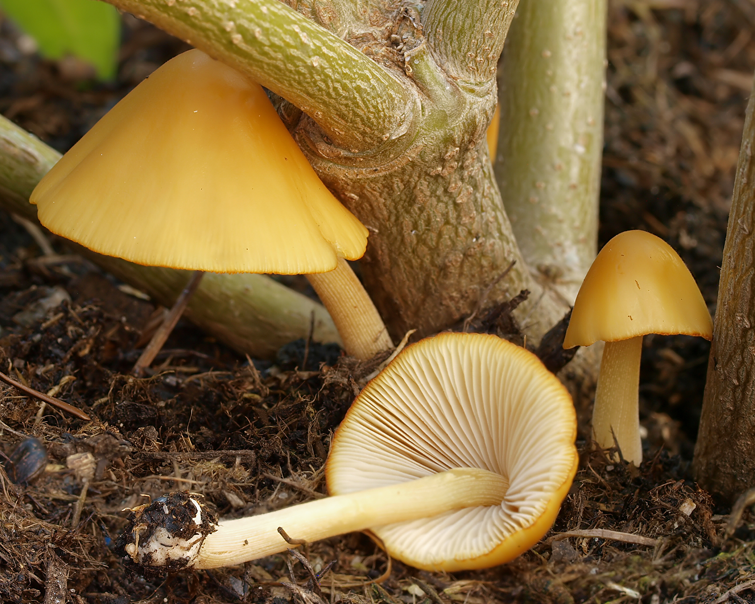 Image of <i>Conocybe aurea</i> (Jul. Schäff.) Hongo 1963