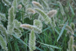 Image of Foxtail millet