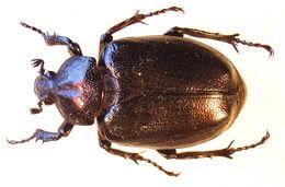 Image of Hermit Beetle