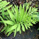 Image of sensitive fern