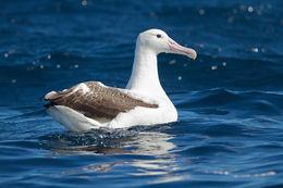 Image of Royal Albatross