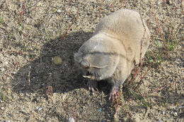 Image of Greater Blind Mole Rat