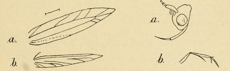 Image of <i>Haplochrois gelechiella</i> (Rebel 1902) Rebel 1902