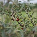 صورة <i>Shepherdia argentea</i> (Pursh) Nutt.