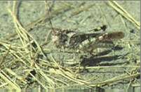 Image of Mottled Sand Grasshopper