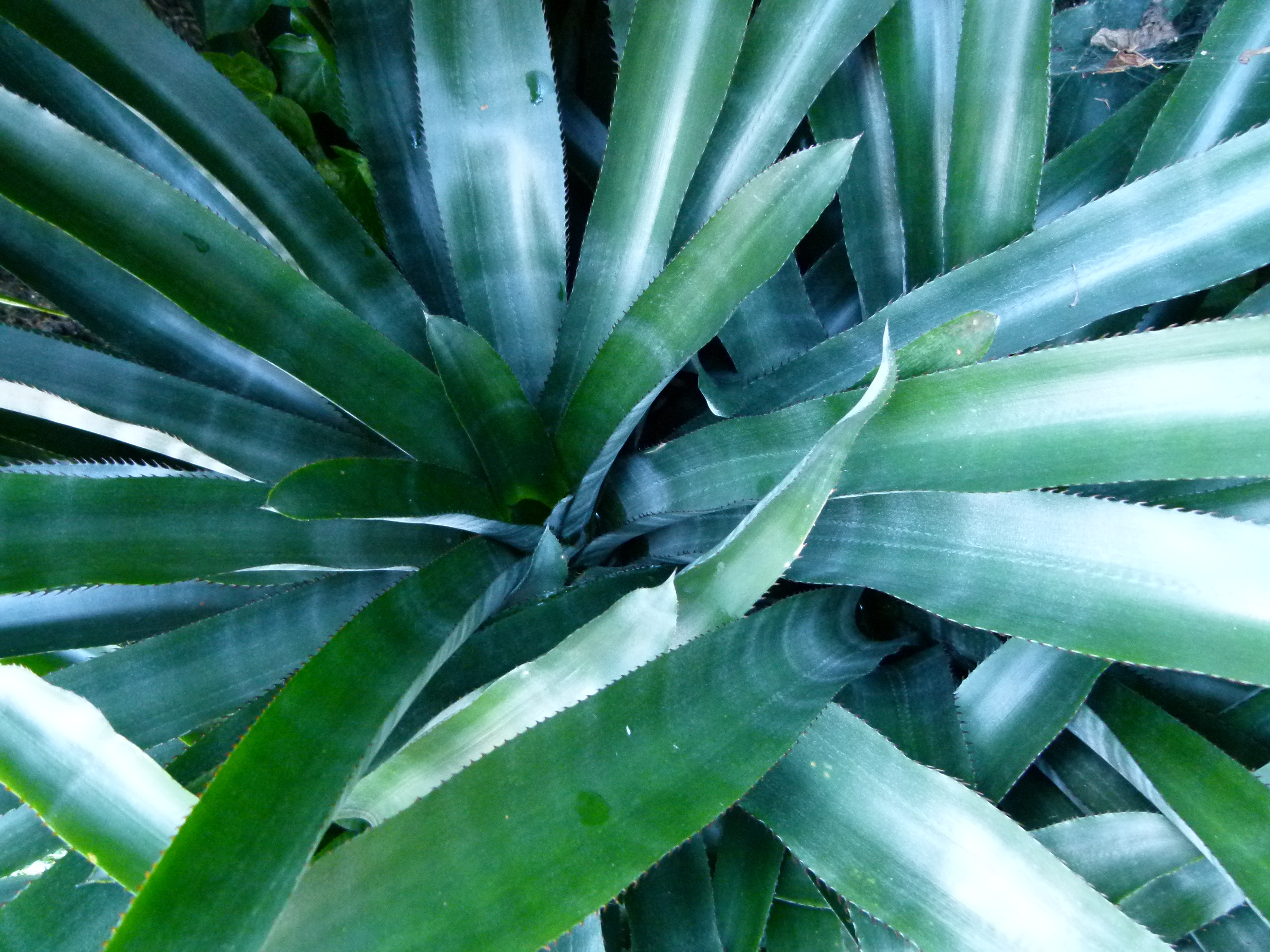 Image of <i>Quesnelia arvensis</i> (Vell.) Mez